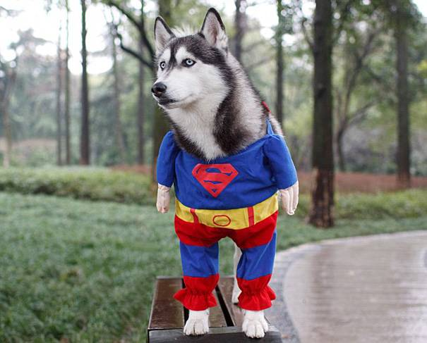husky-superman