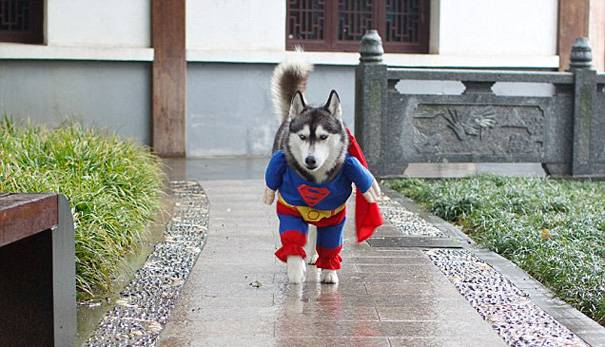 husky-superman2