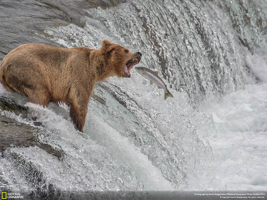 oso-pescando-national-geographic