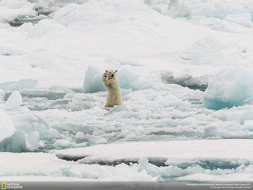 oso-polar-saluda-national-geographic